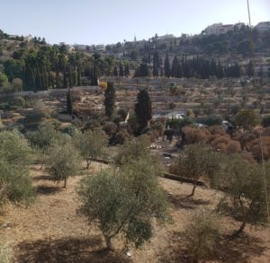 Olive trees on the Mount of Olives