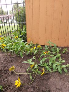 A small flower bed of Black-Eyed Susans.