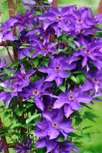 The Clematis vine blooms with large, dark purple flowers.