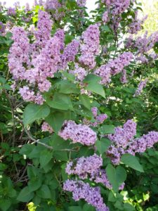 After a four day hard freeze in my area, the lilacs began again to bloom. I couldn't believe their beauty.