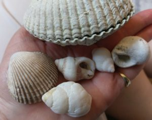 Several intact seashells spread out in my hand