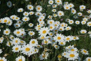Shasta Daisy Field