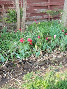 Tulips bloomed after 4 nights of 20 degree weather.