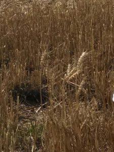 A few heads of wheat remaining in a cut wheatfield